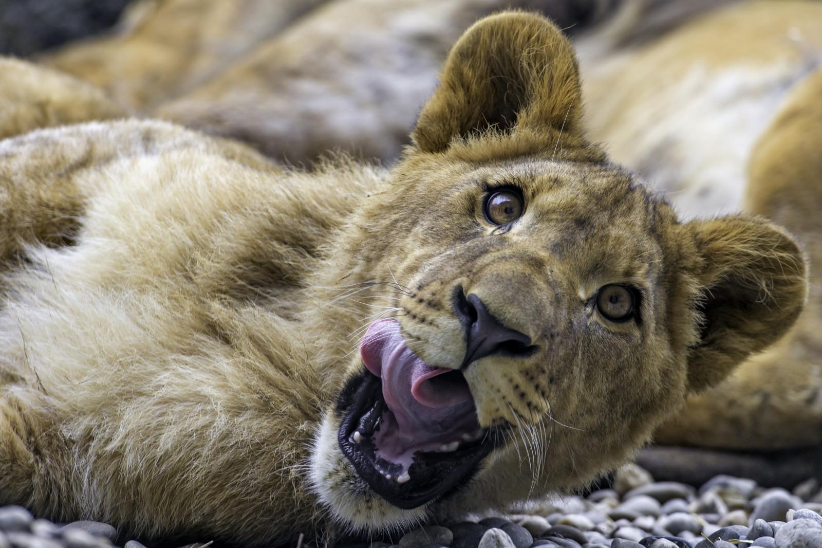8k Animal Wallpaper Download: Wallpaper : Face, Portrait, Lion, Wildlife, Switzerland