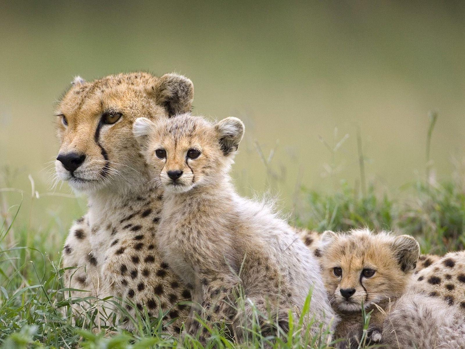 Fondos De Pantalla De Animales Bebes: Fondos De Pantalla : Animales, Fauna Silvestre, Animales