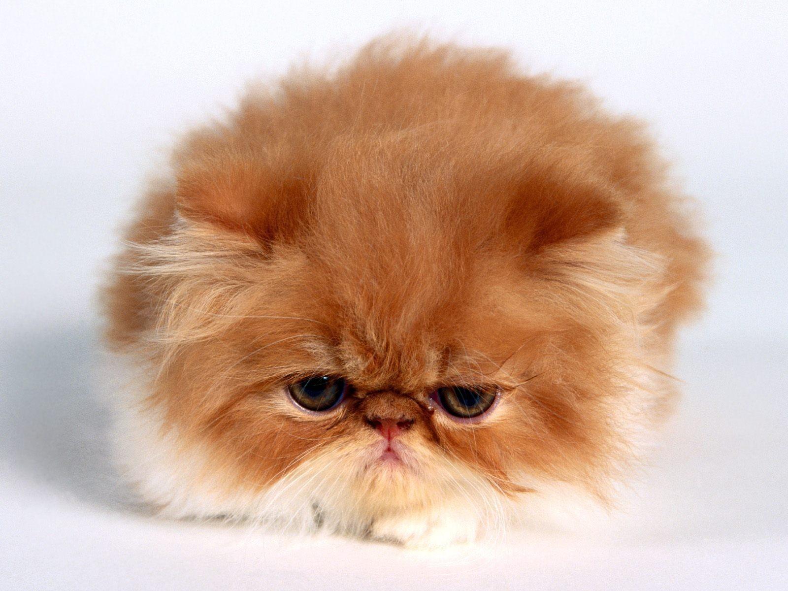 Fondos de pantalla de gatos persas