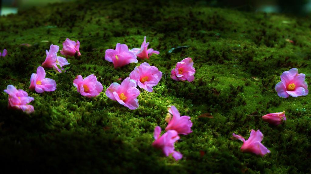 Fond d 39 cran temple herbe rose fleur printemps zen for Hotel jardin de fleurs kyoto
