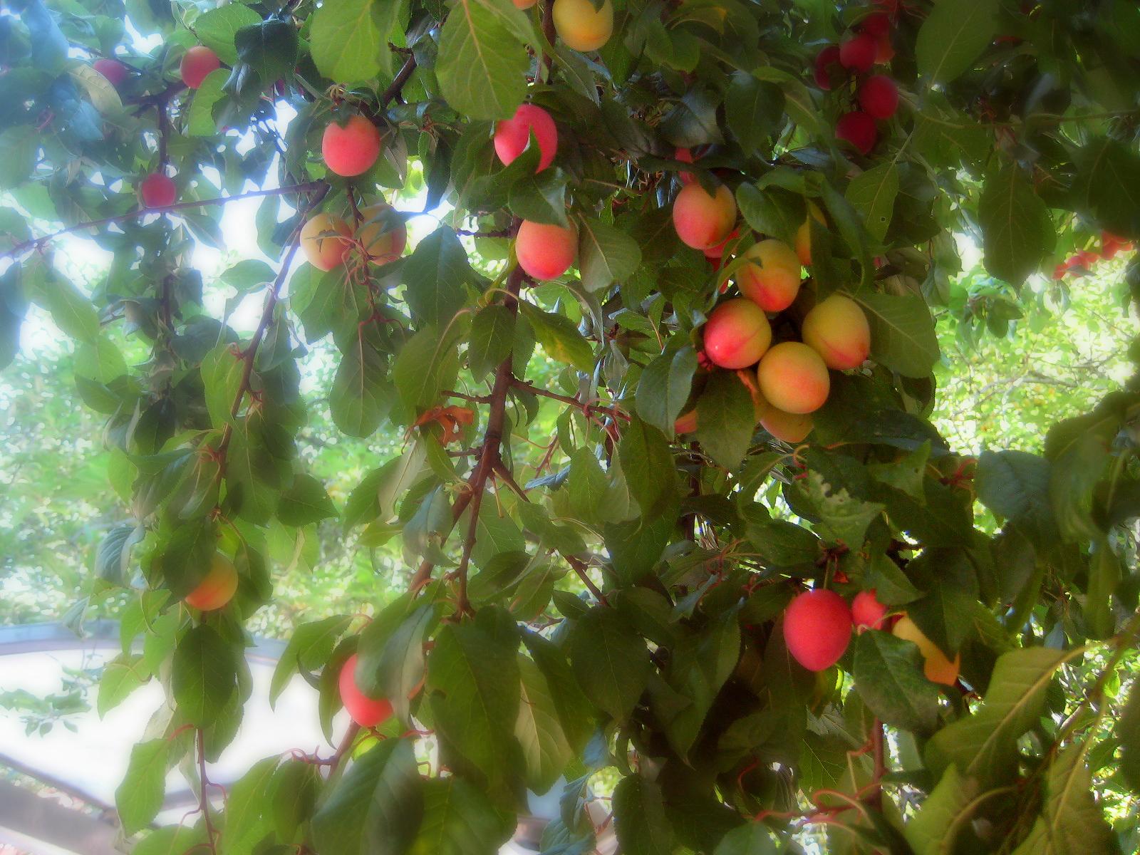 Piante Da Frutto Sempreverdi sfondi : sempreverde, pianta, prugna, ciliegia, produrre
