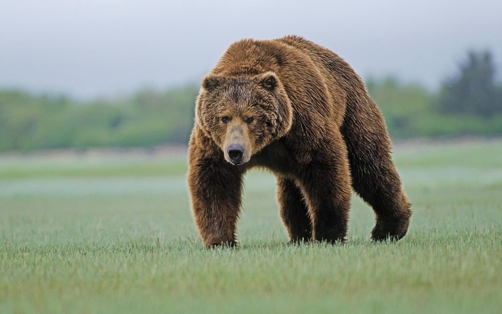 Медведь загрыз рыбака в хабаровском крае