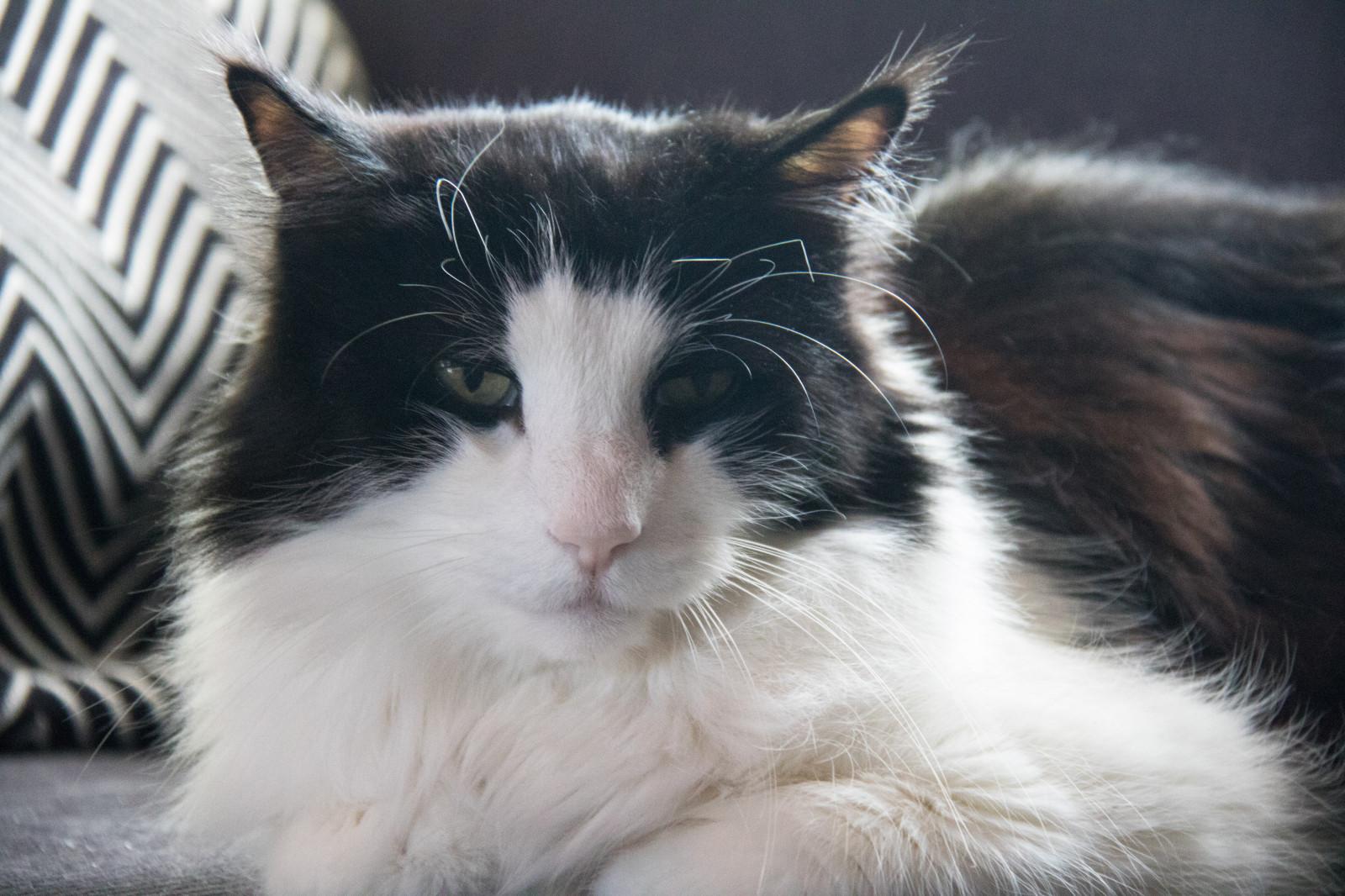 Sfondi bianca naso barba rambo animale gattino for Gatto della foresta norvegese