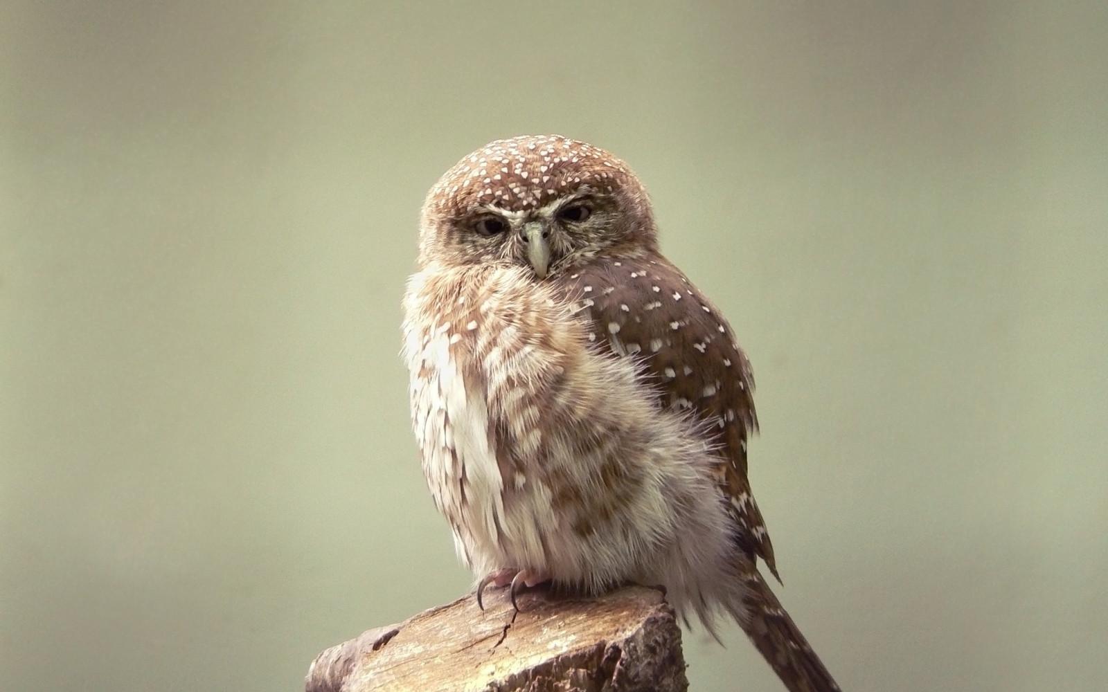 自然褐色_デスクトップ壁紙 : 鳥, 自然, 褐色, 野生動物, 猛禽, フクロウ ...