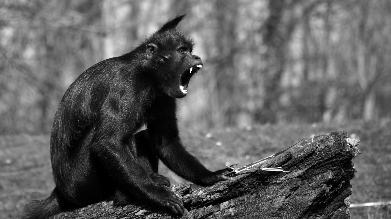 29++ Hewan monyet hitam terupdate