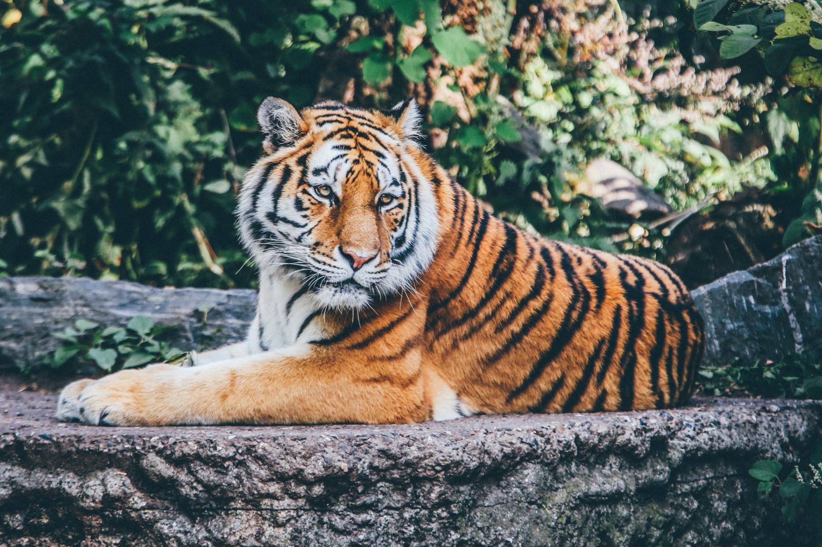 Тигры фото красивые, про приколы