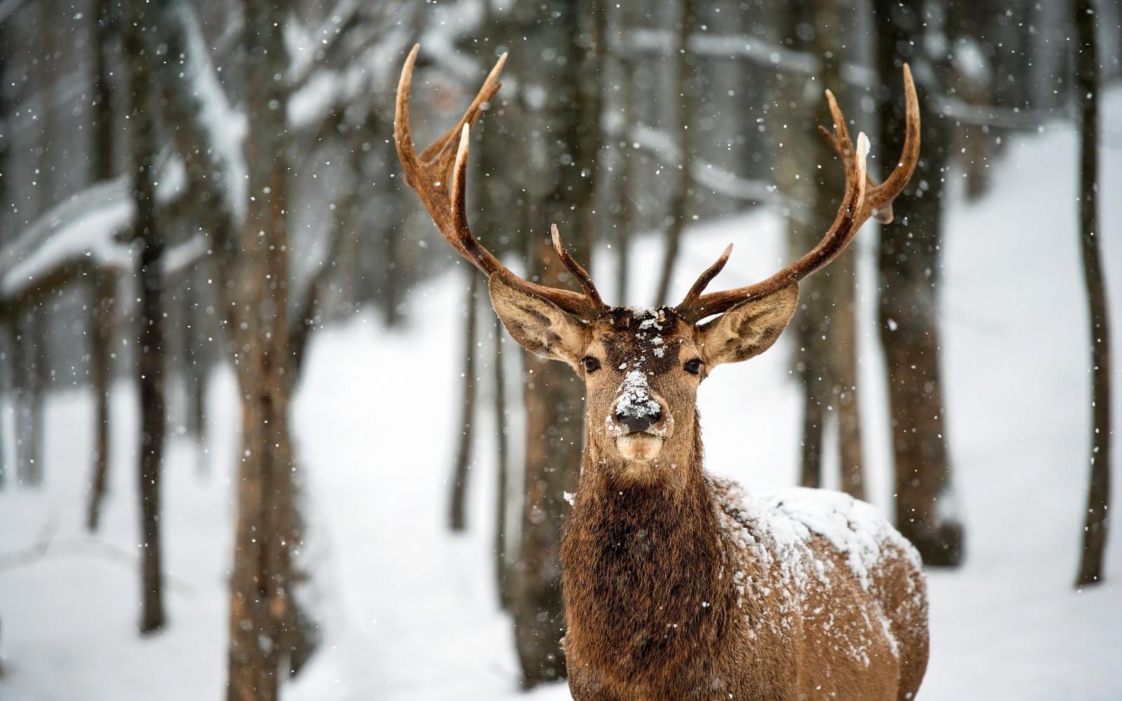 Fond d 39 cran animaux la nature neige hiver faune for Fond ecran hiver animaux