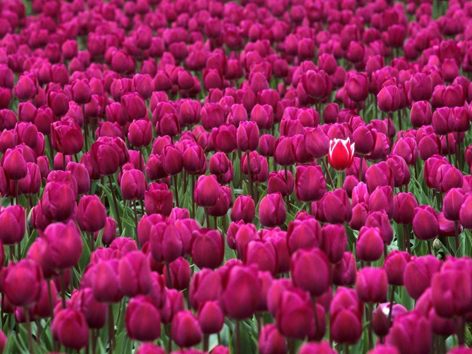 красивые тюльпаны очень фото было делать
