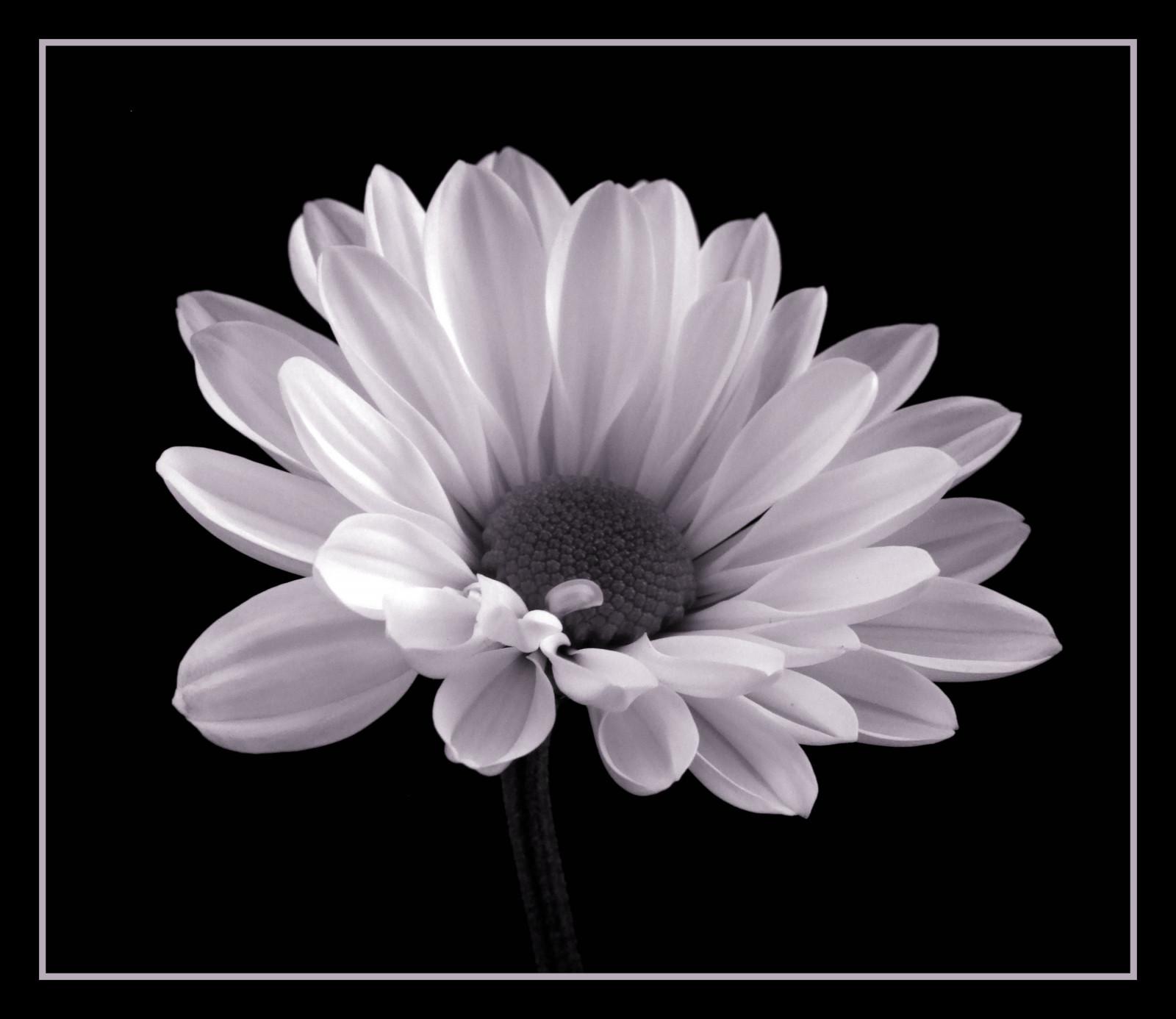 Sfondi fiore bianca bianco e nero fotografia in for Margherita pianta