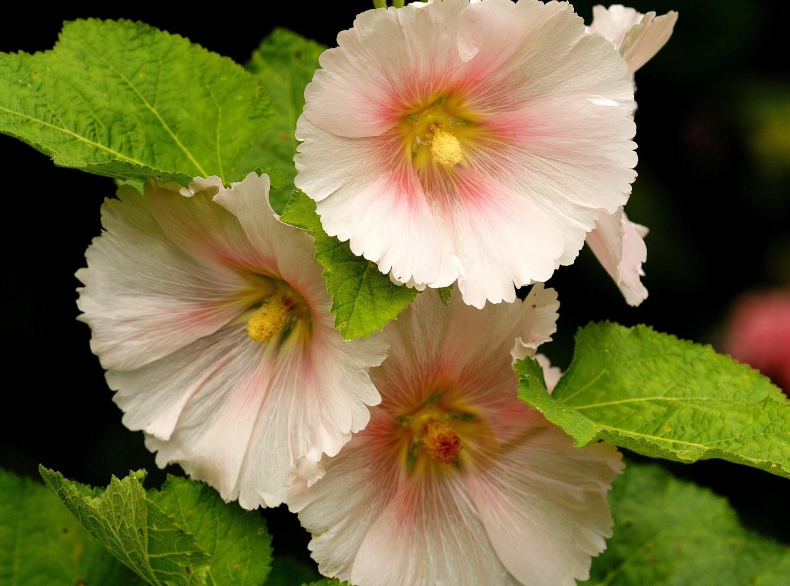 Цветок мальва цвета