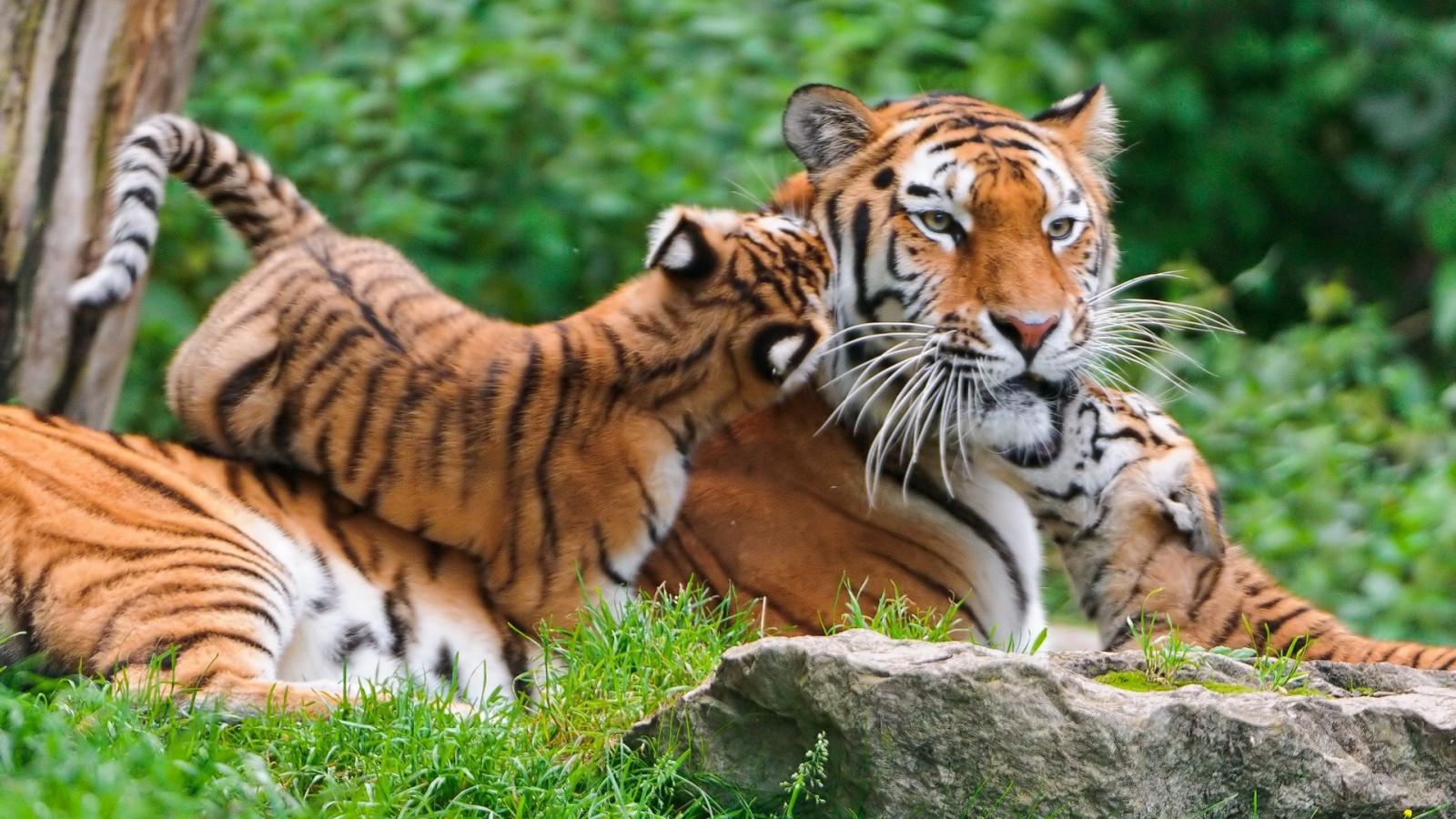 Hd Animal Wallpapers Pets Zoo Animal Love Animal: Sfondi : Animali, Natura, Tigre, Grandi Gatti, Zoo