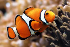 hd ikan badut