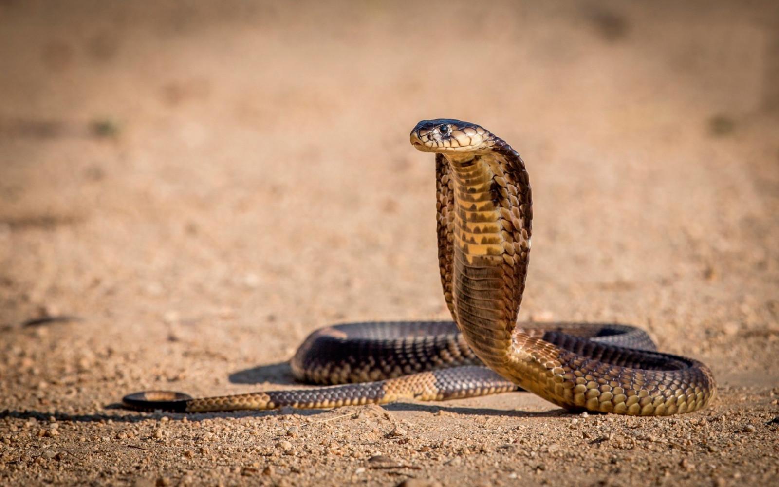Kobra Käärme
