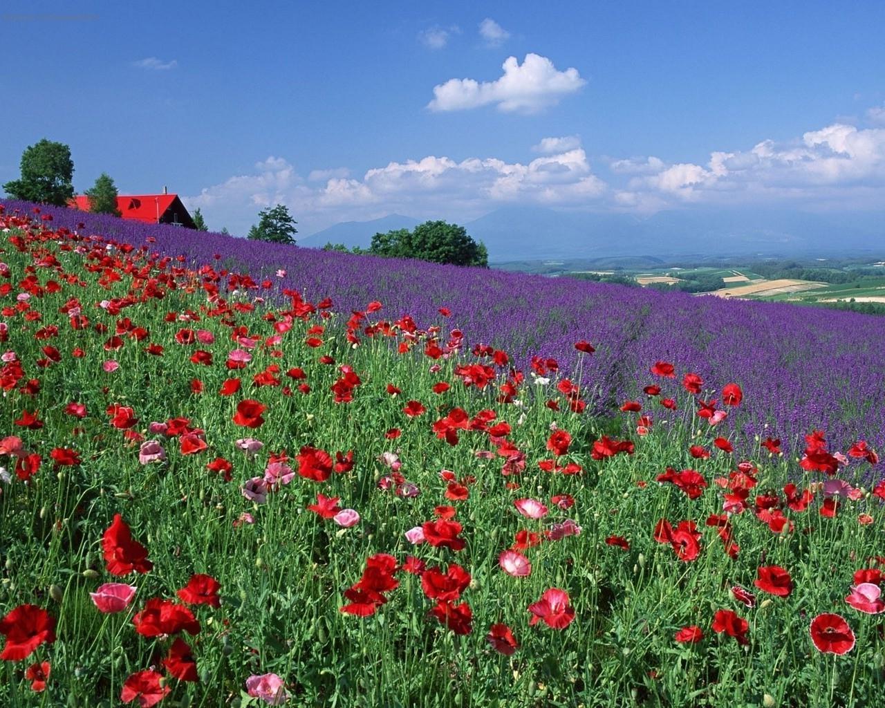 La Cigale qui fourmillait d'idées  - Page 3 1280x1024_px_field_flowers_landscape_Lavender_Poppies-709956