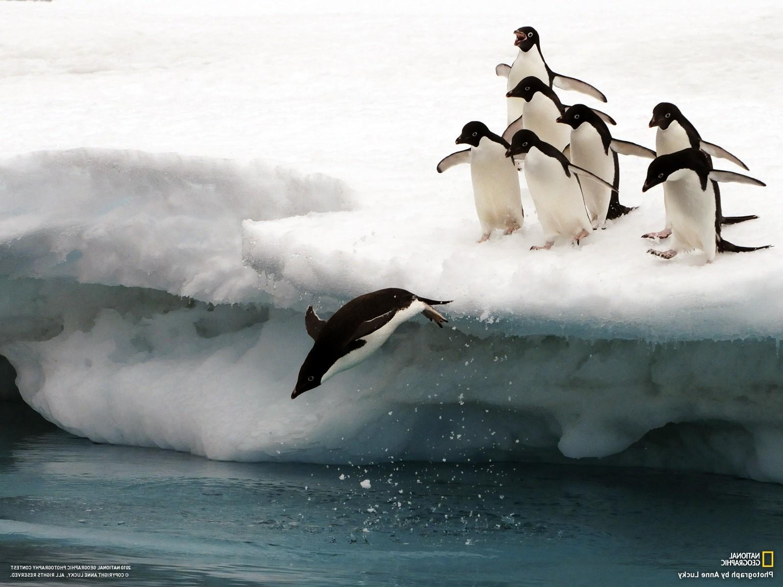 デスクトップ壁紙 ペンギン 雪 氷山 ナショナル ジオ