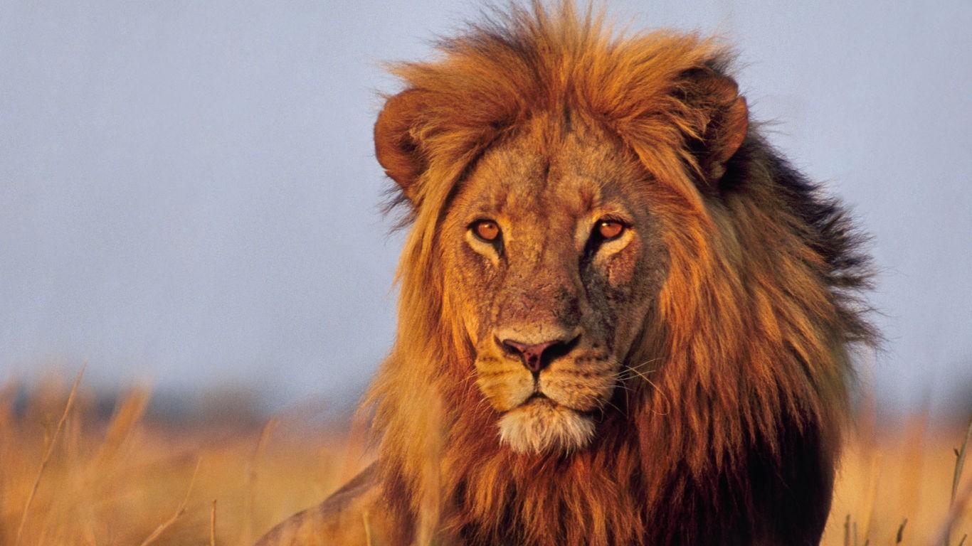 Sfondi animali leone natura grandi gatti barba for Immagini leone hd