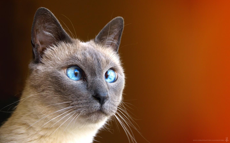 бирманская кошка обои на рабочий стол № 539392 бесплатно