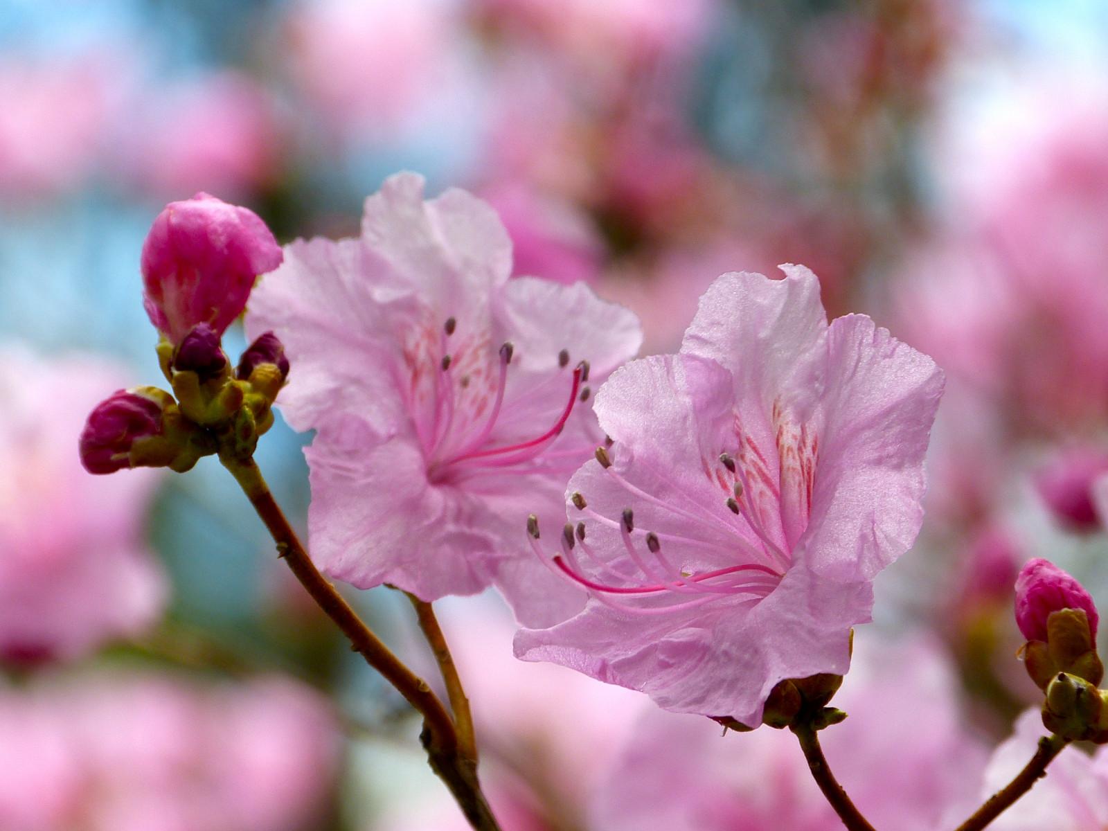 Sfondi fiori natura ramo fiore di ciliegio arbusti for Pianta di ciliegio