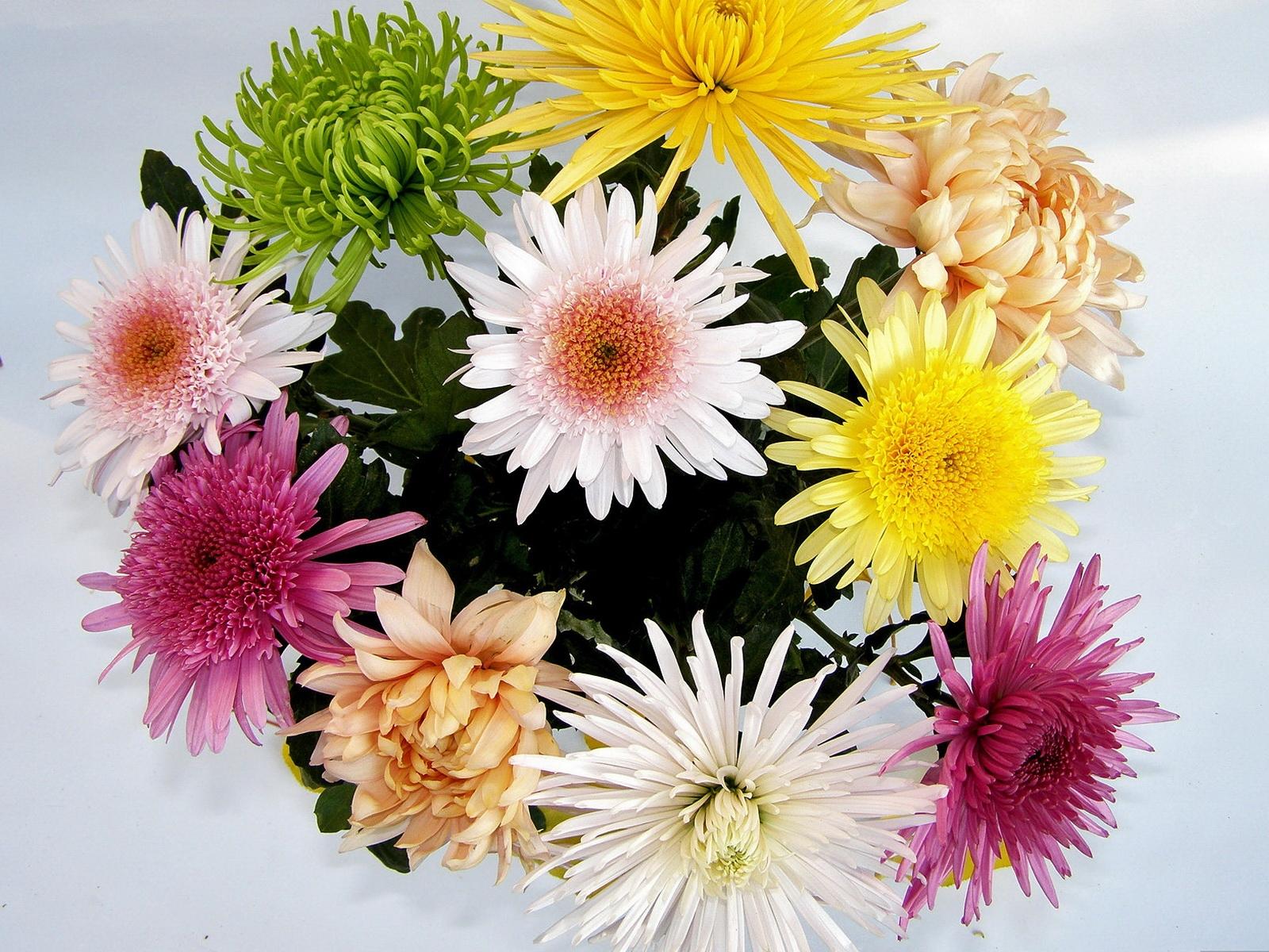 Картинки фото красивая с днем рождения хризантема