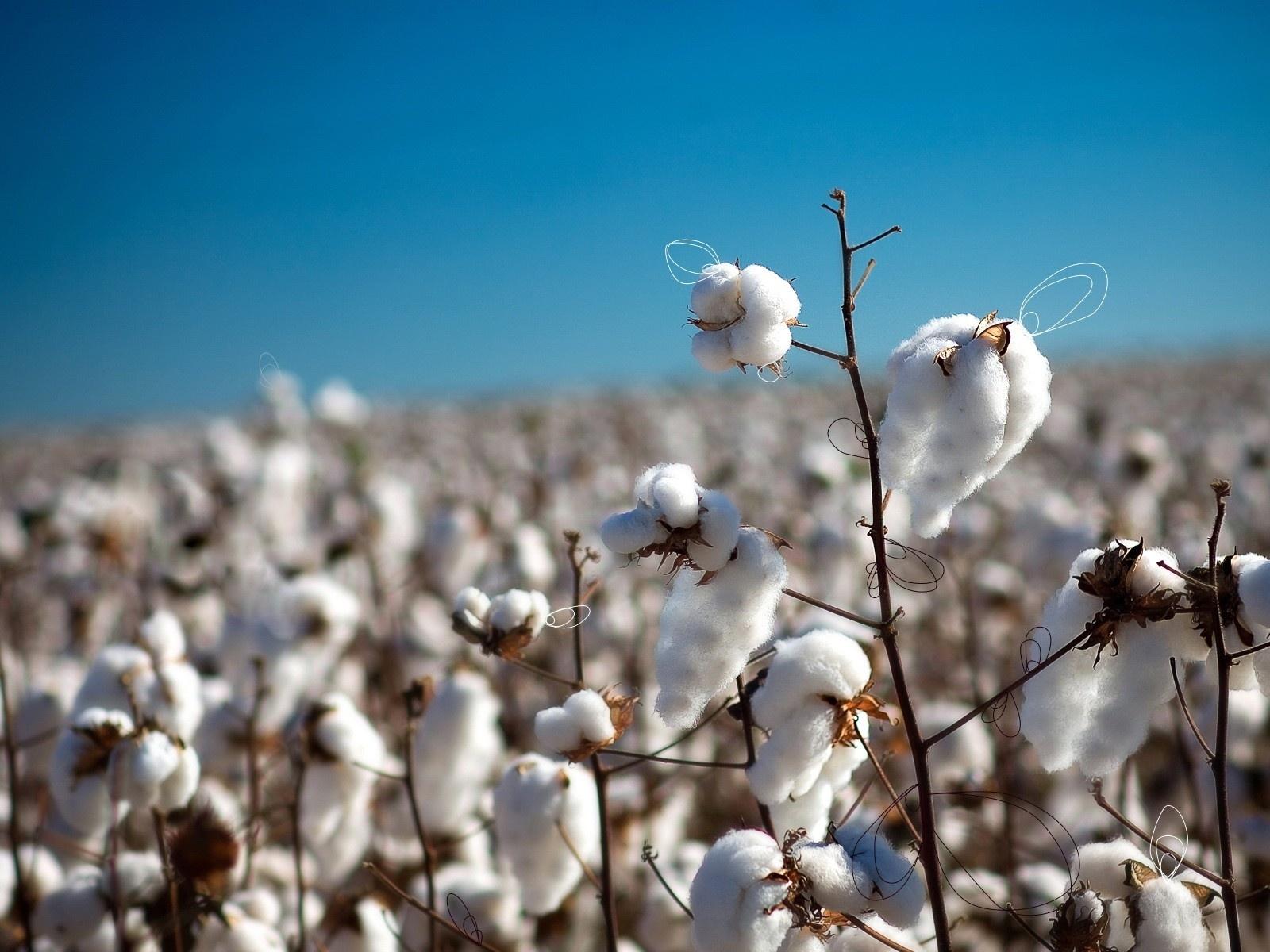 Branche Fleur De Coton fond d'écran : blanc, ciel, champ, branche, bleu, fleur