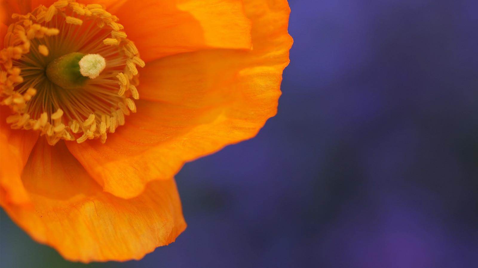 Цветы большие оранжевые