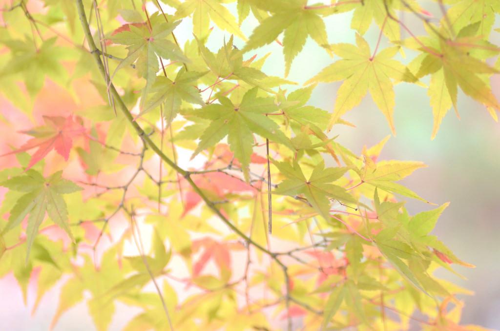 デスクトップ壁紙 秋 自然 寺院 京都 落ち葉 モミジ