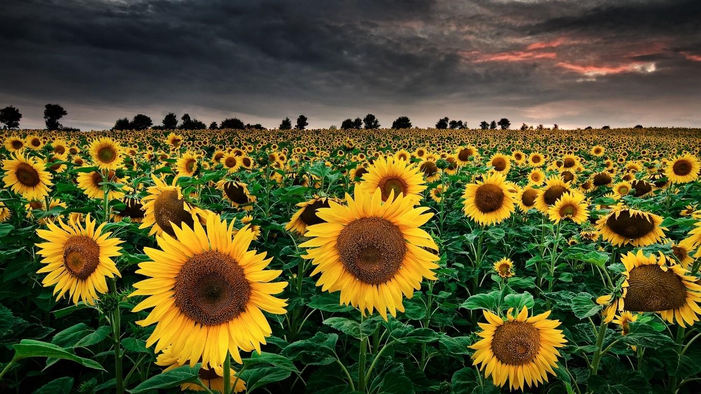 Sfondi : paesaggio, natura, cielo, campo, girasoli, fiore ...