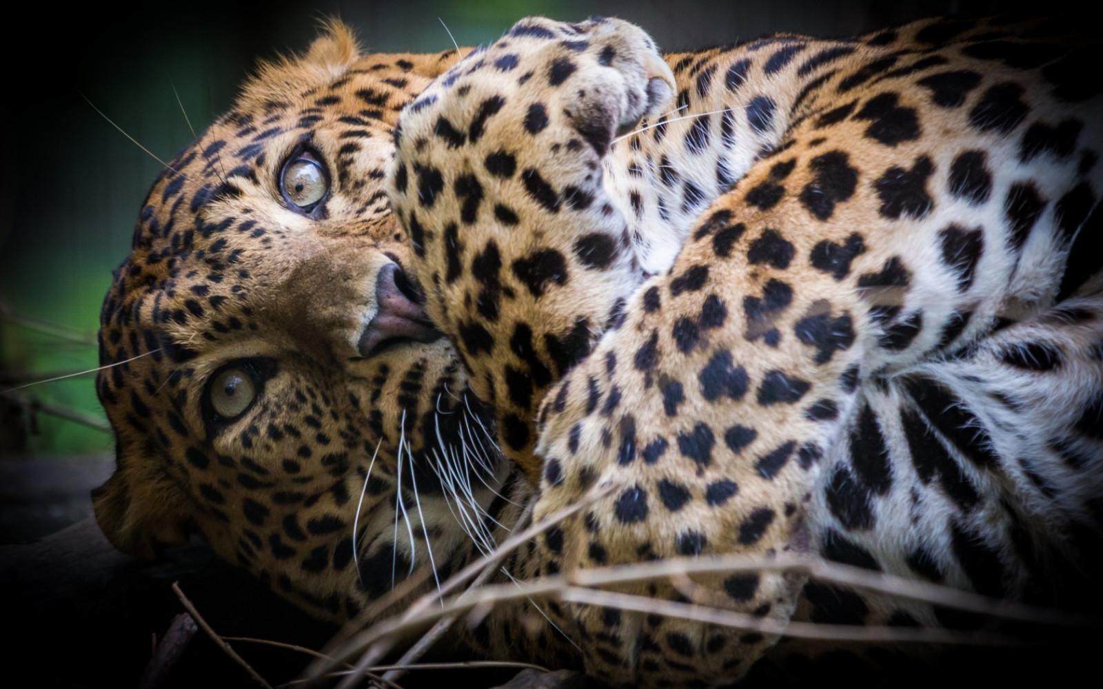 wildlife big cats whiskers leopard Ocelot Jaguar paws predator fauna mammal vertebrate close up cat like mammal muzzle