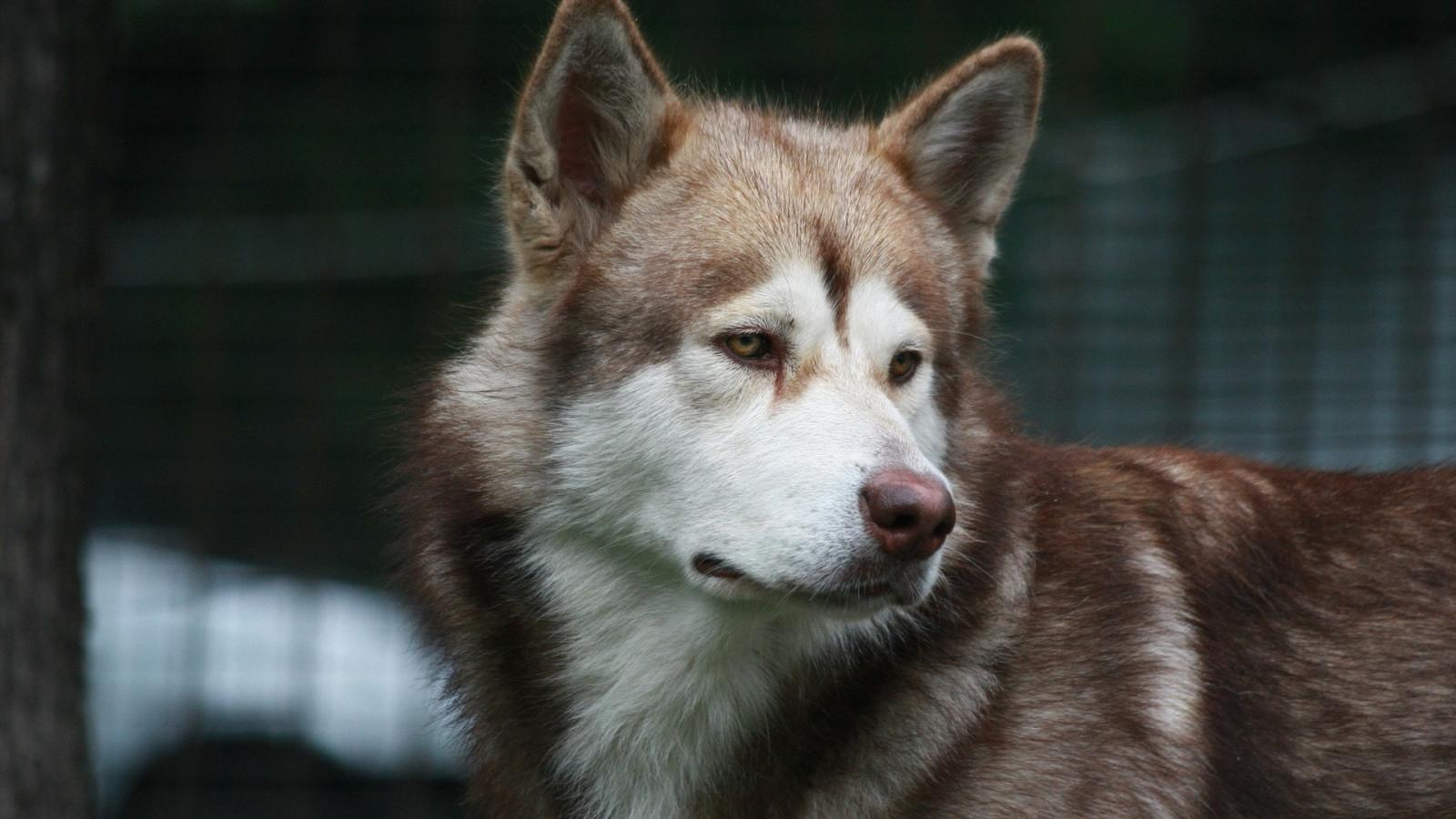 1080 Huky Puppies: Wallpaper : Wolf, Siberian Husky, 1920x1080 Px, Vertebrate