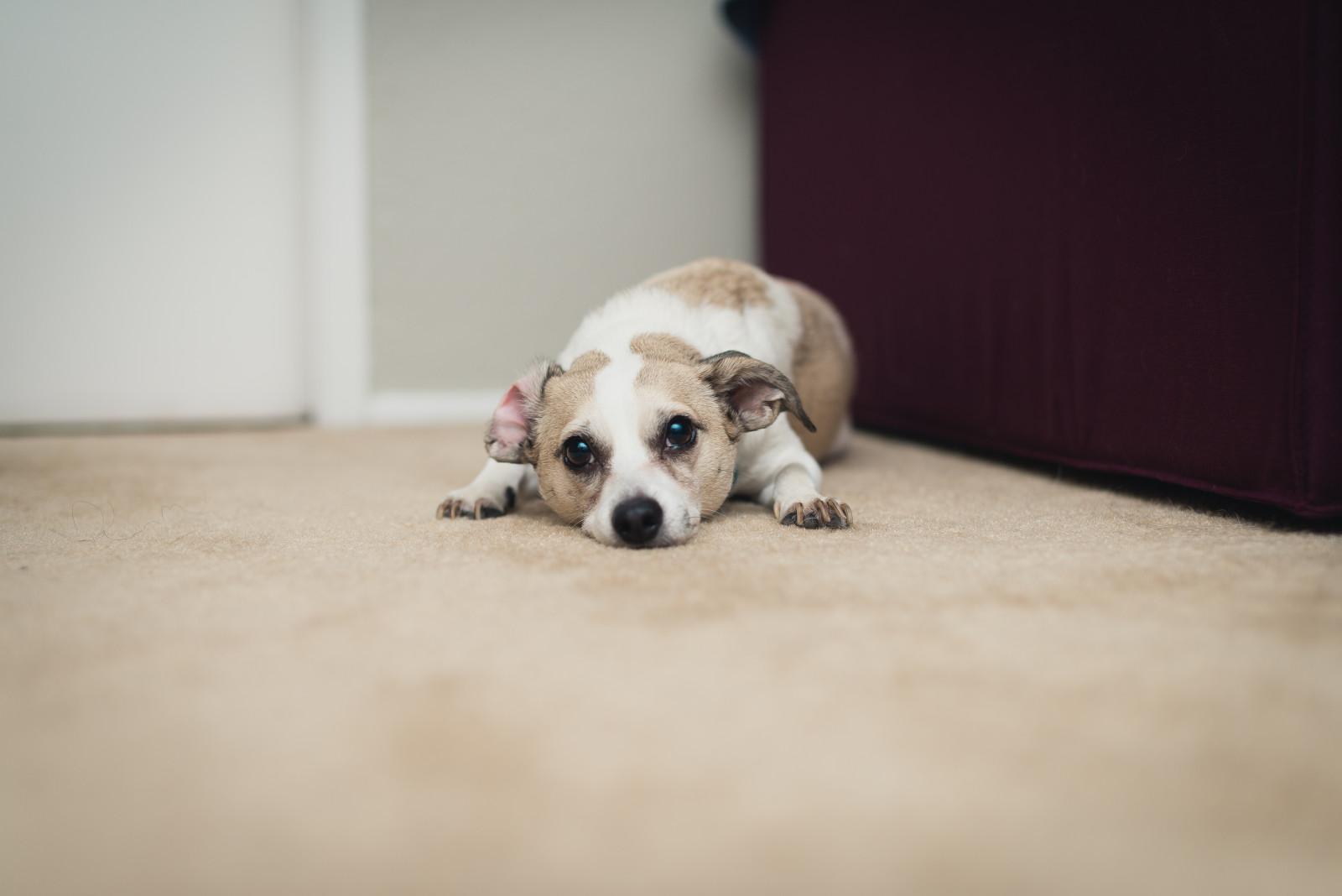 Fondos de pantalla : retrato, adentro, perro, borroso, Nikon, Bokeh ...