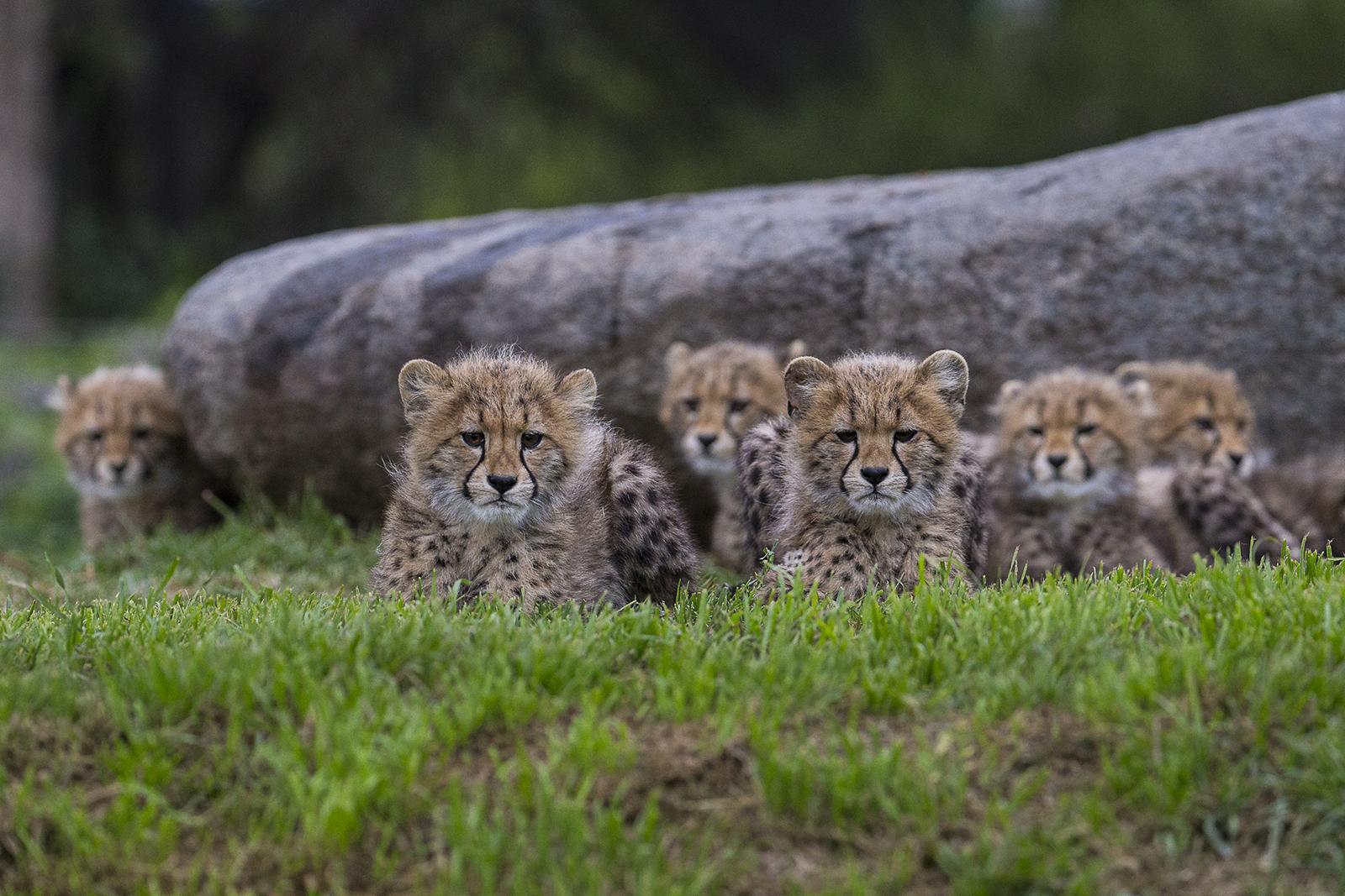 wallpaper : animals, nature, grass, wildlife, baby, big cats, zoo