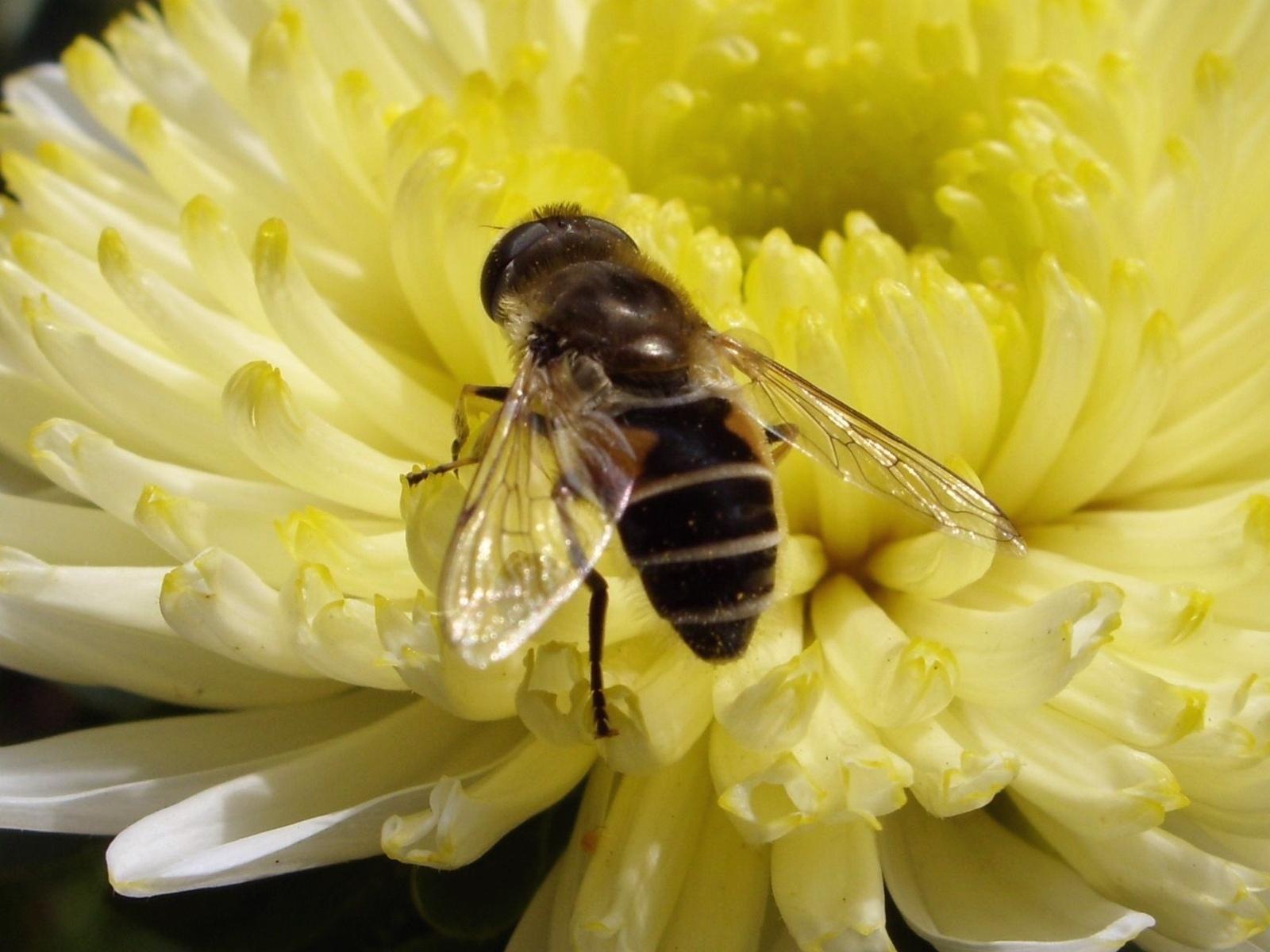опубликовал фото пчела на цветке фотография ваш выбор прозрачная
