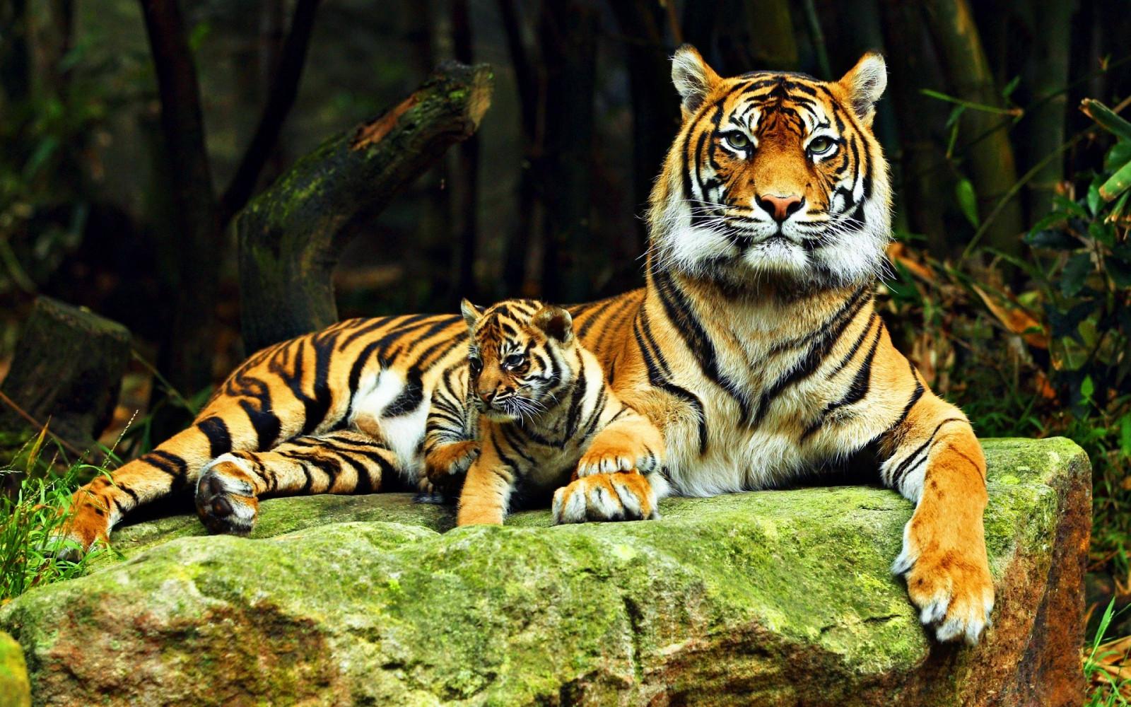 Wallpaper : harimau, margasatwa, kucing besar, Kebun binatang