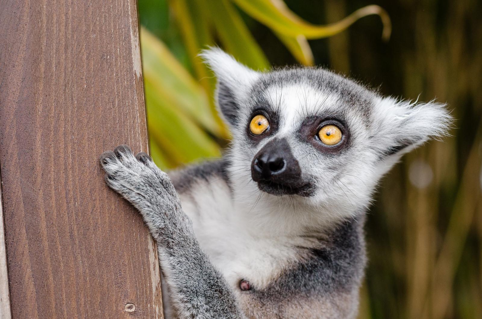 Cool Lemur Wallpaper - lemur_look_spotted-566596  Snapshot_574747.jpg!d