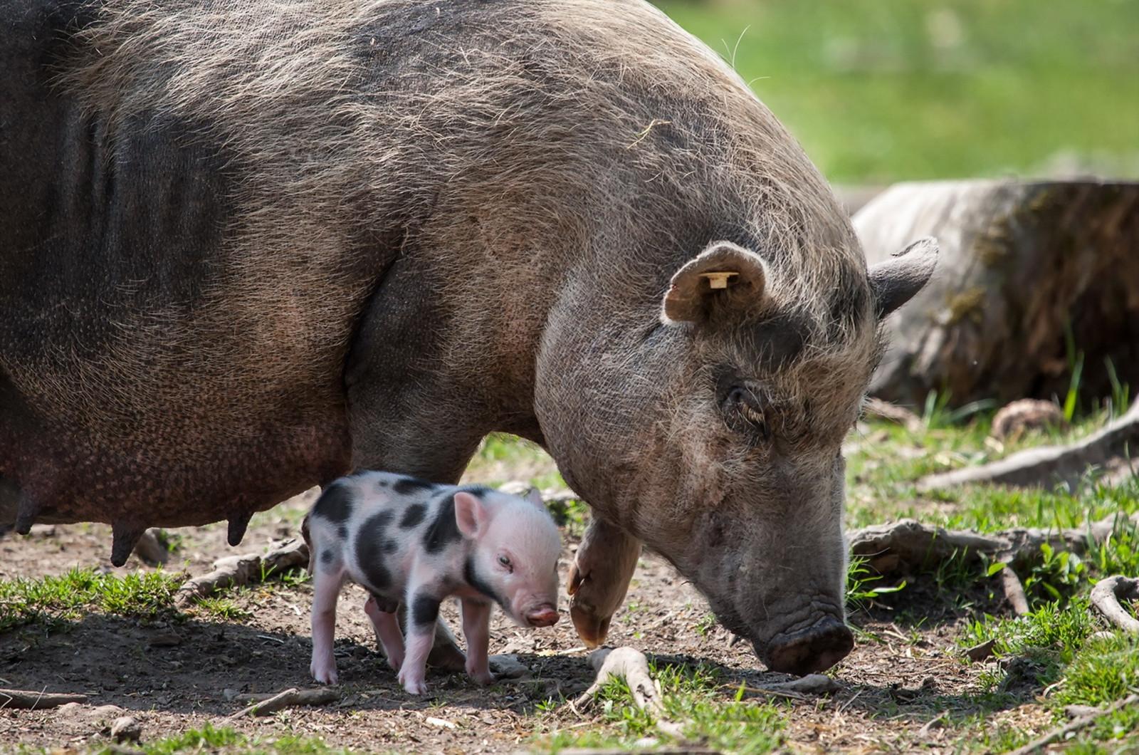980 Koleksi Gambar Binatang Babi Hutan Gratis