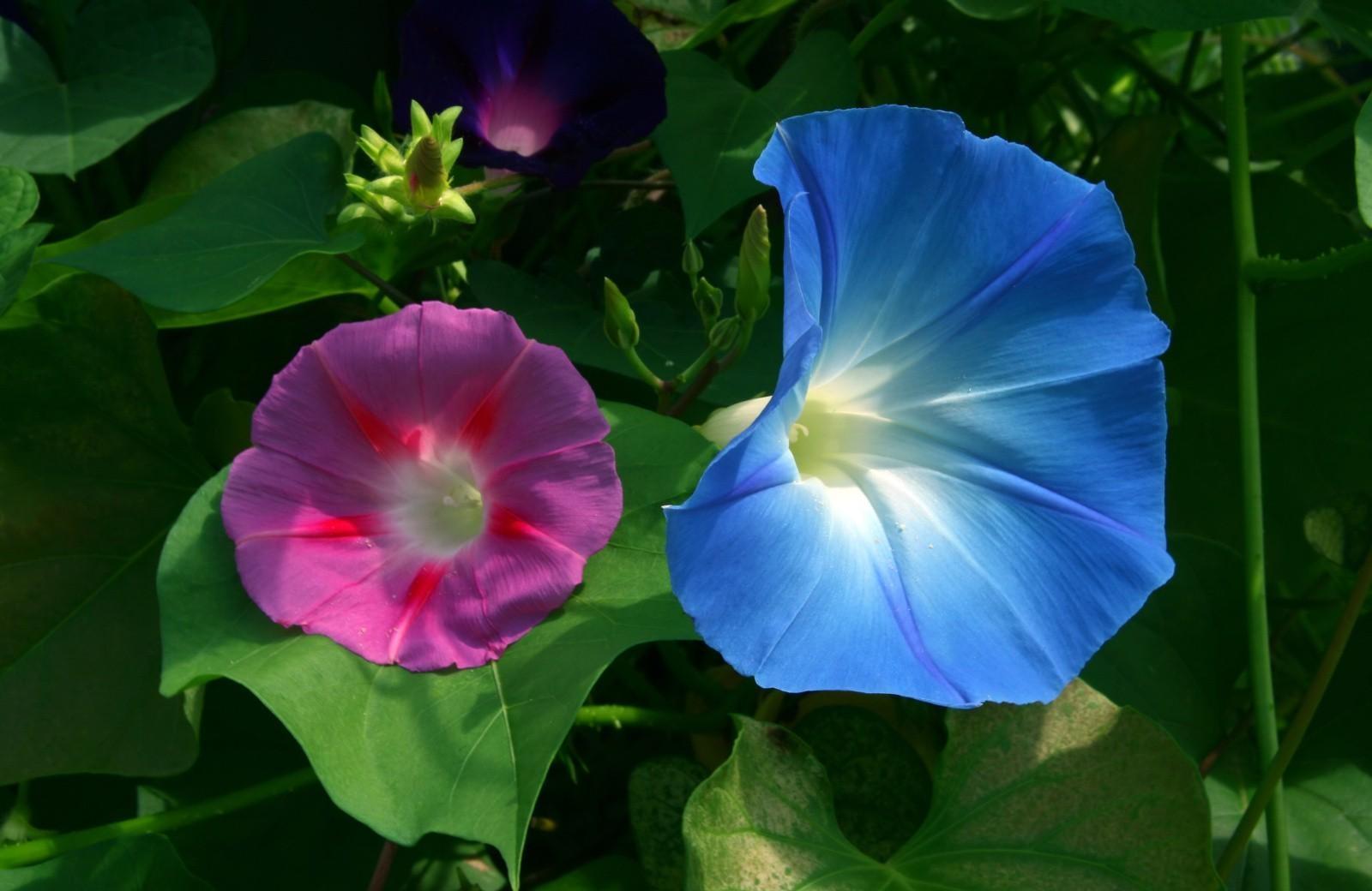 картинки цветка вьюн корпус представляет собой