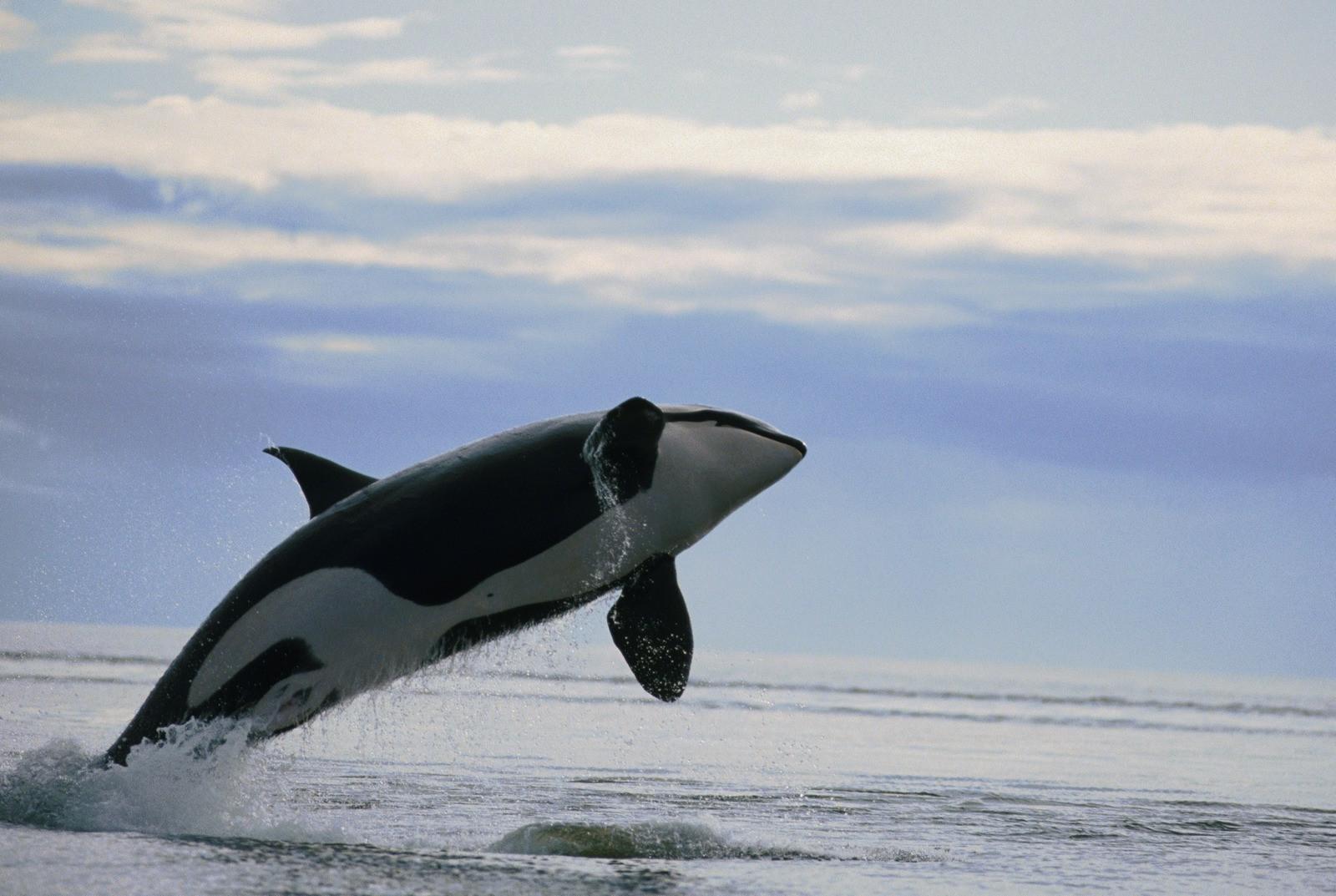 デスクトップ壁紙 自然 オルカ 哺乳類 脊椎動物 海洋哺乳動物