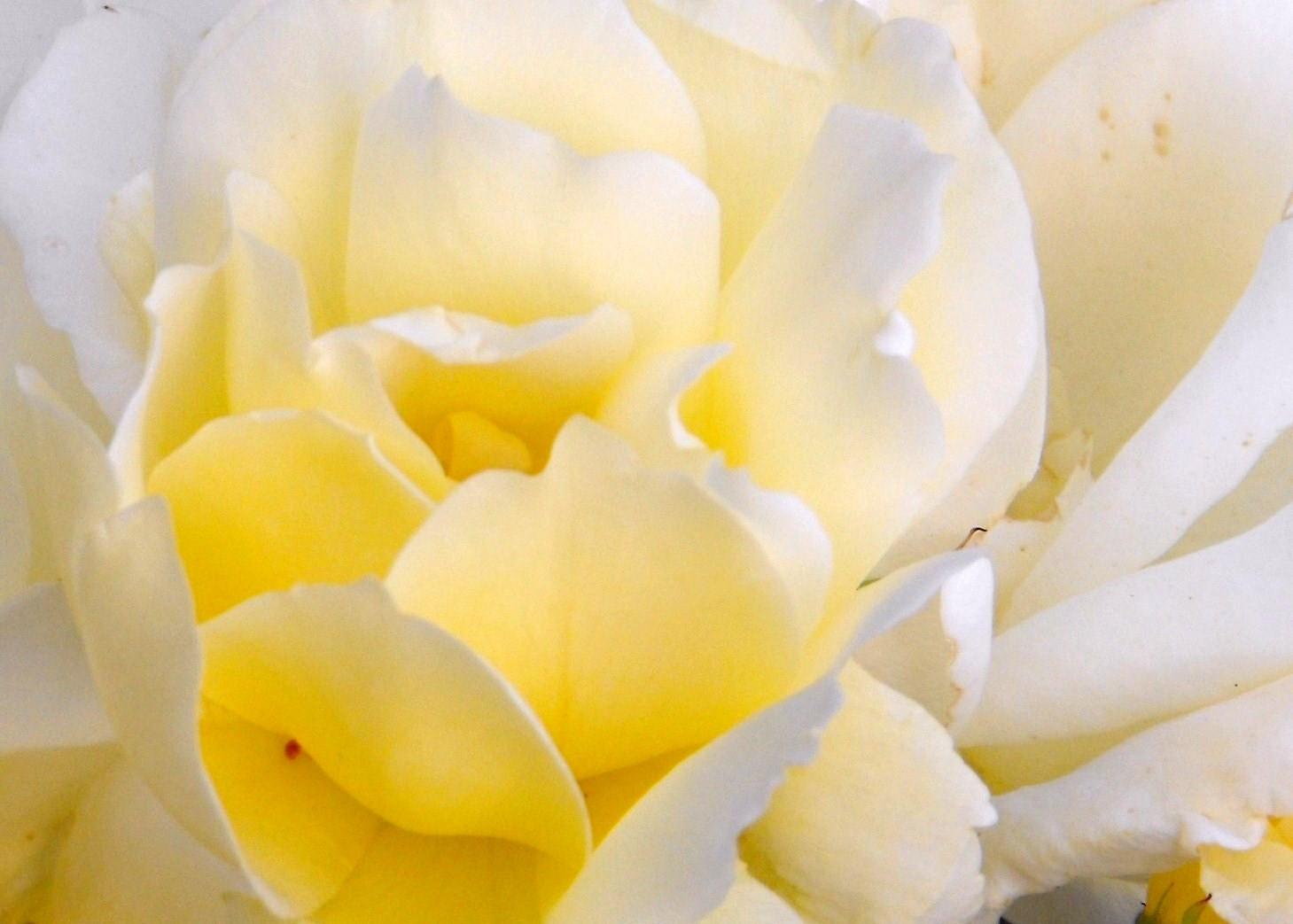Hintergrundbilder weiße rosen Die 75+