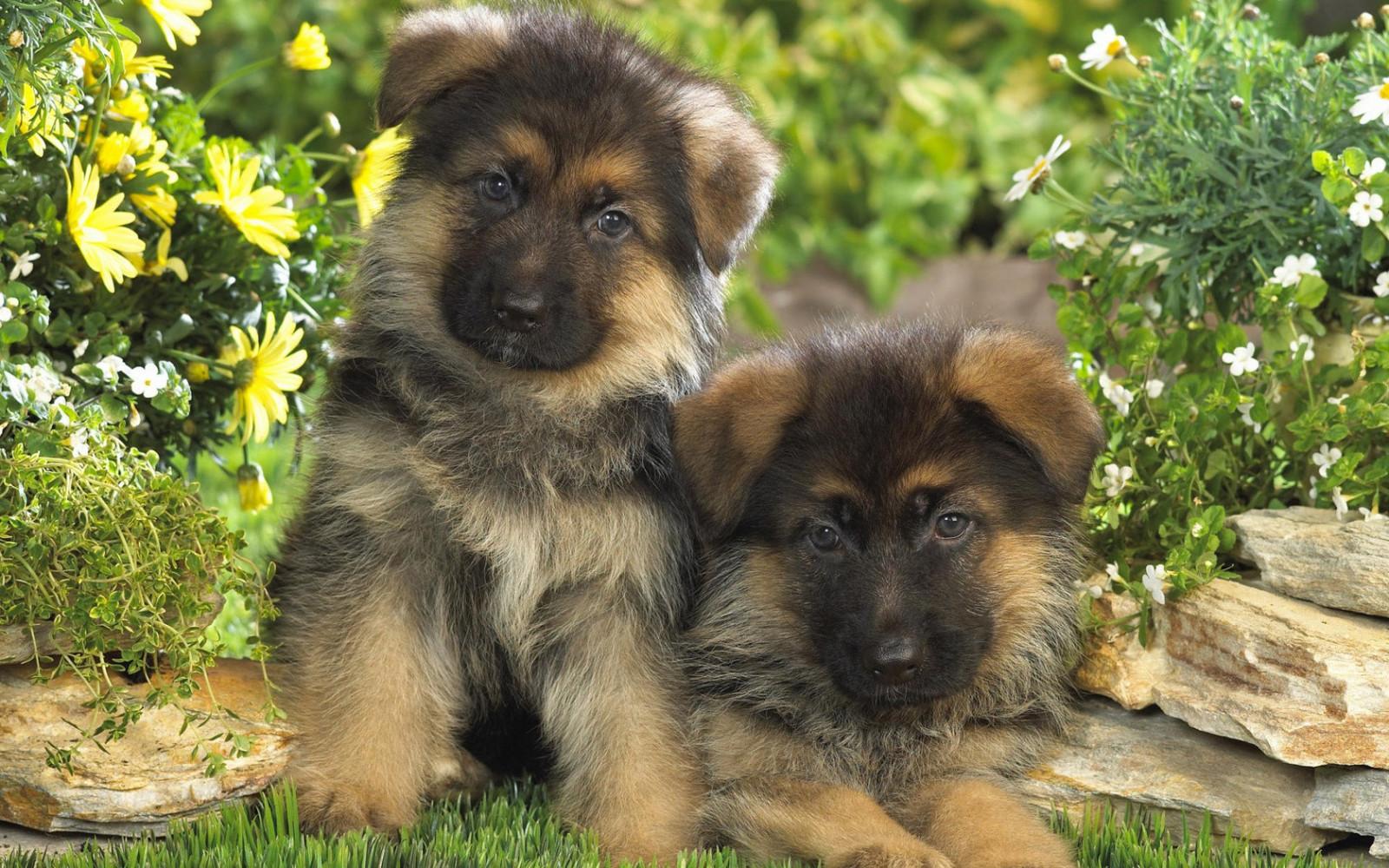 hintergrundbilder tiere welpen welpe wirbeltier hund wie s ugetier hunderasse gruppe. Black Bedroom Furniture Sets. Home Design Ideas