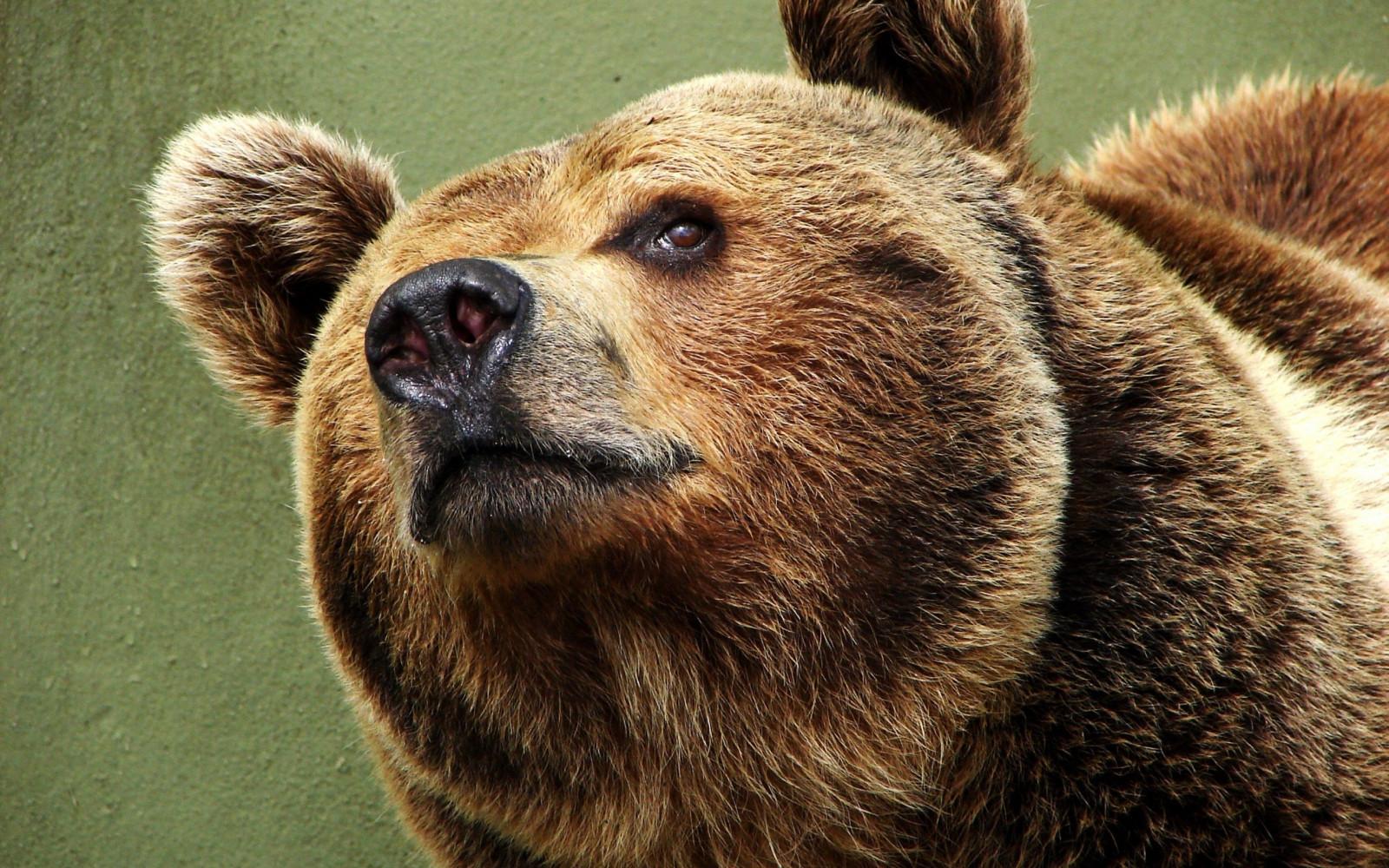 мазком атерхольт ухо медведя картинка должна