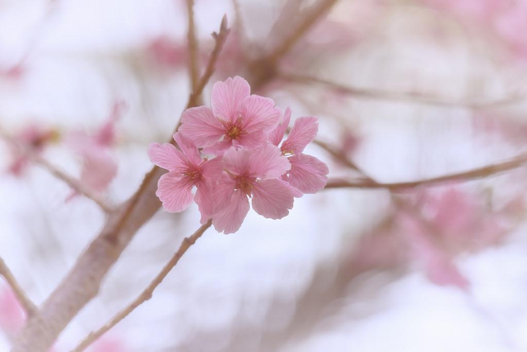 Sfondi : fiori, Singapore, amore, cuore, ramo, Perduto, fiore di ciliegio, Nikon, fiorire, bokeh, rosa, primavera, perfezione, D750, pianta, mio, flora, Anima, petalo, ricordi, sempre, ramoscello, avvicinamento, fotografia macro, staminali vegetali ...