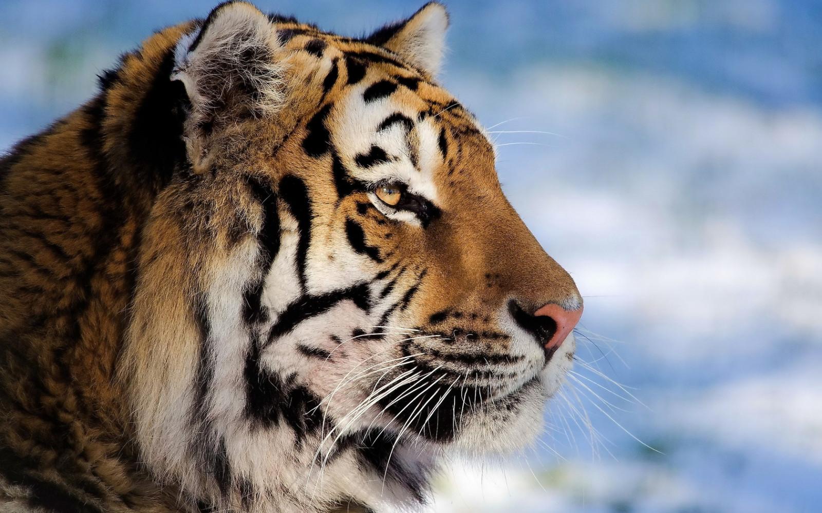 Fond d'écran : tigre, visage, profil, rayé, gros chat 1680x1050 - - 1065283 - Fond d'écran ...