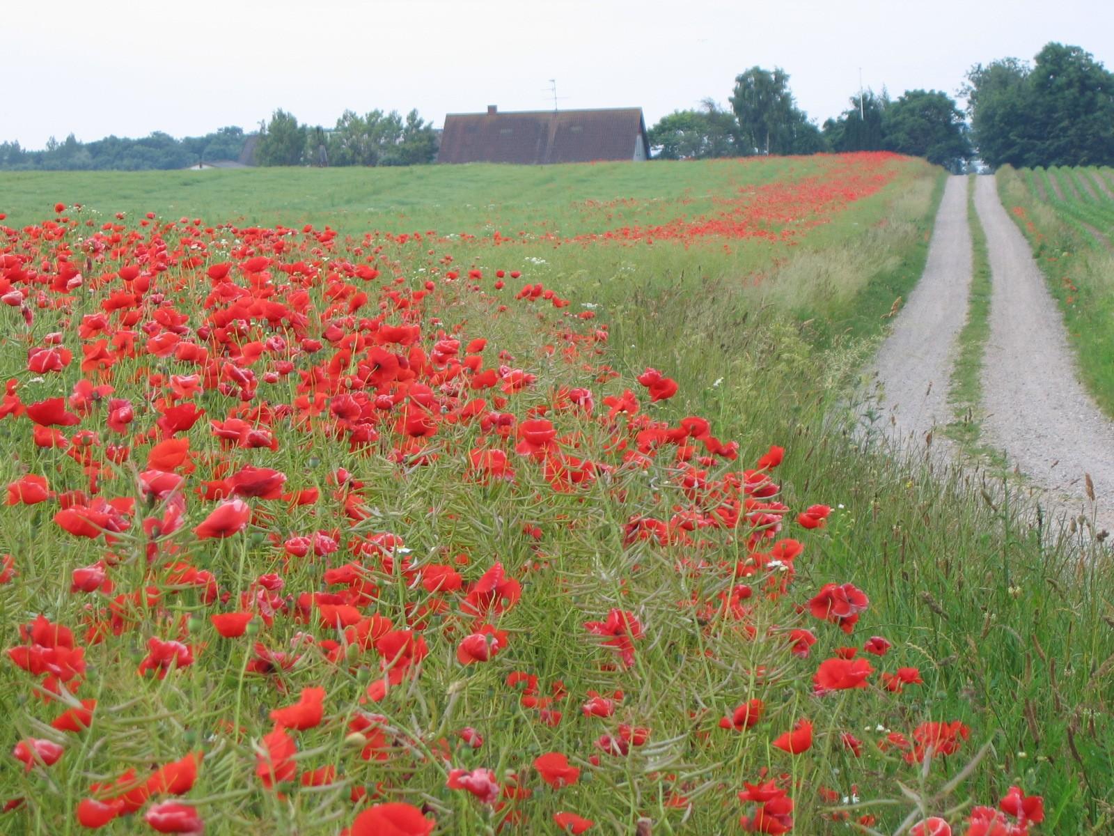 Wallpaper : flowers, field, dirt road, path, poppies, steppe