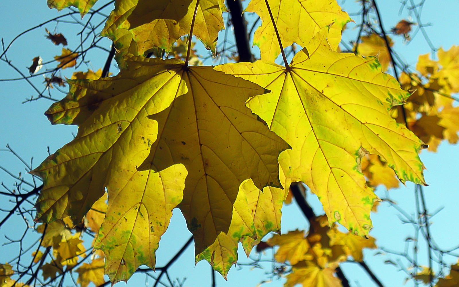 Картинки пожелтевшие листья