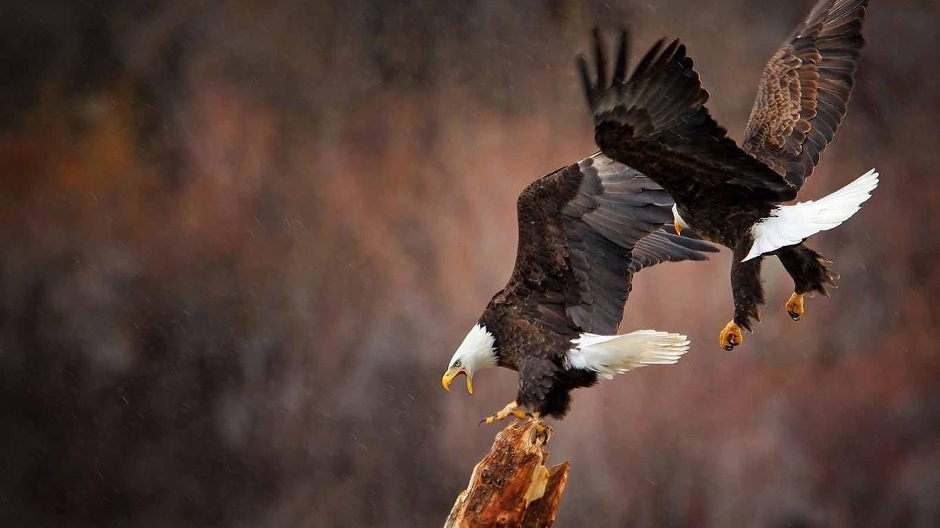 103+ Gambar Burung Rajawali Hd Gratis Terbaik