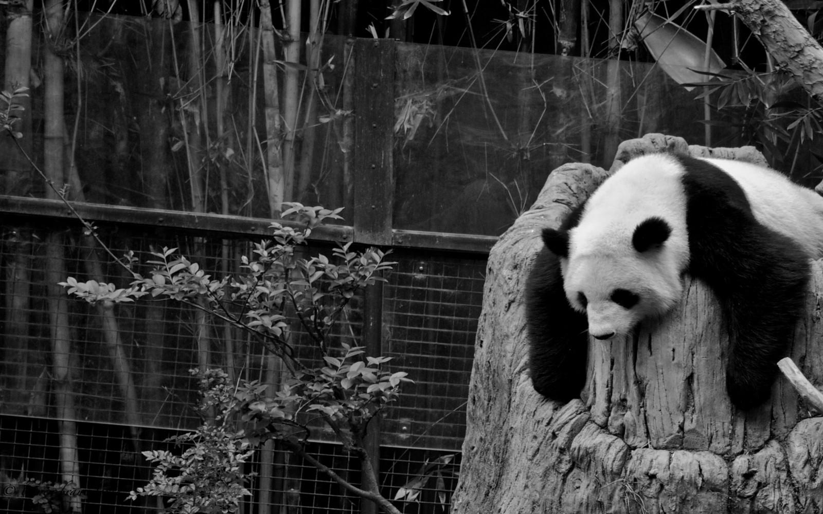 Baggrunde : Panda, Zoo, Hollow, Søvn, Naturreservat, Bjørn, Pattedyr, Sort Og Hvid, Monokrom