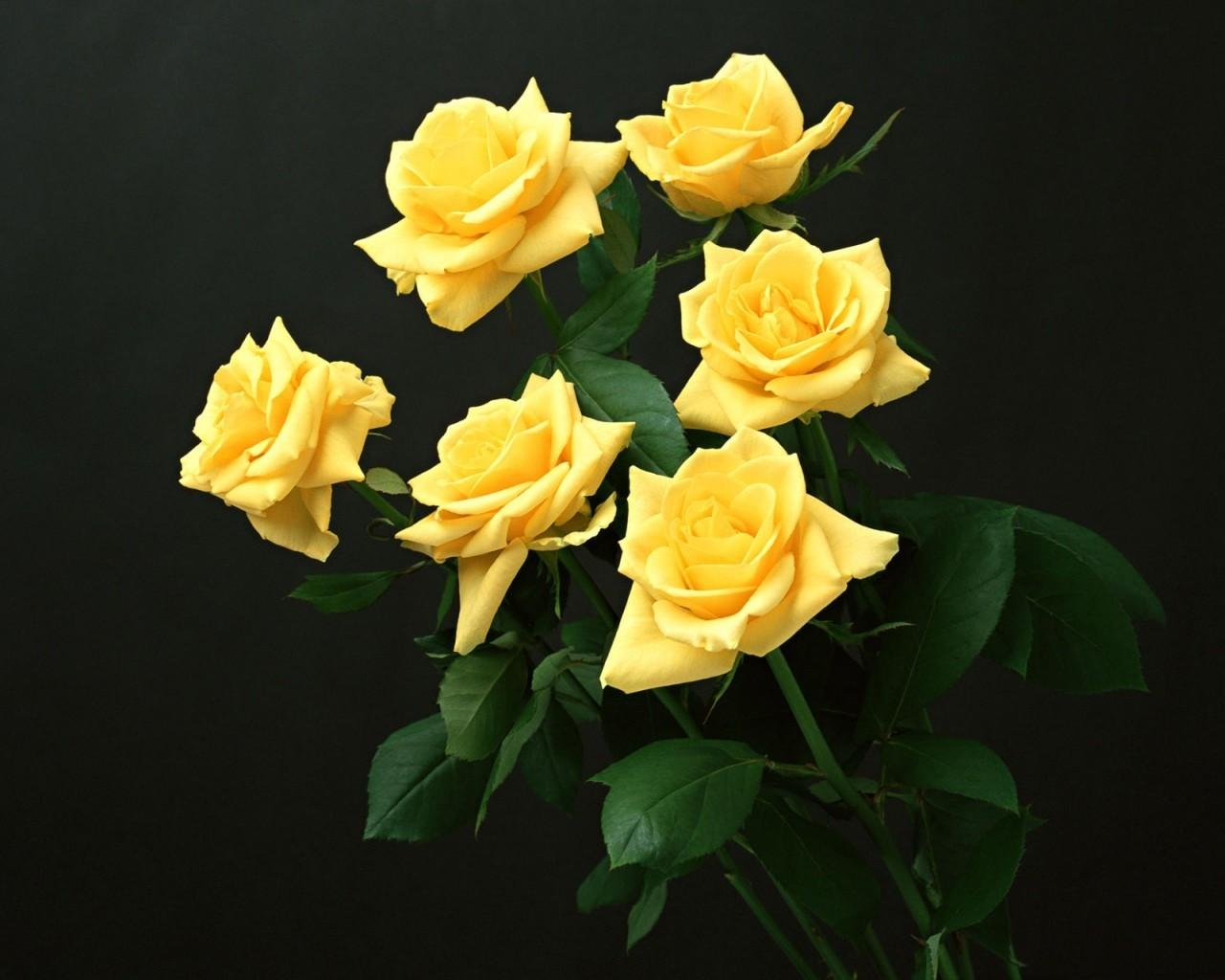 Fiori Gialli Rose.Sfondi Fiori Gialli Giallo Rose Gialle Fiore Flora Petalo