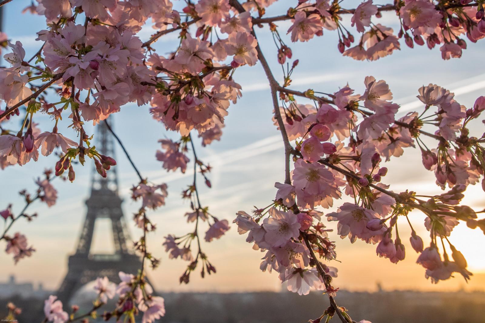 fond d'écran : rose, branche, printemps, fleur de cerisier, arbre