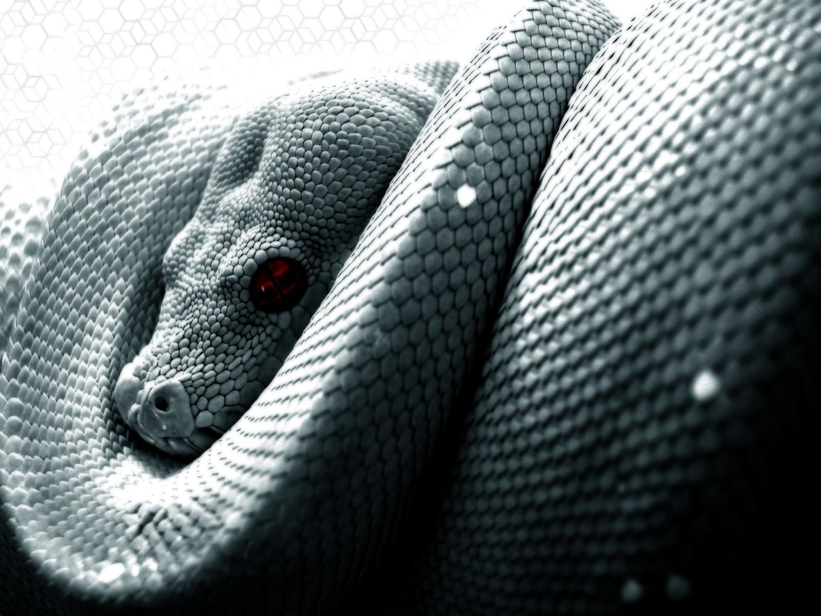 đen Đơn sắc con rắn Trăn quy mô Bò sát 1600x1200 px đen và trắng Nhiếp