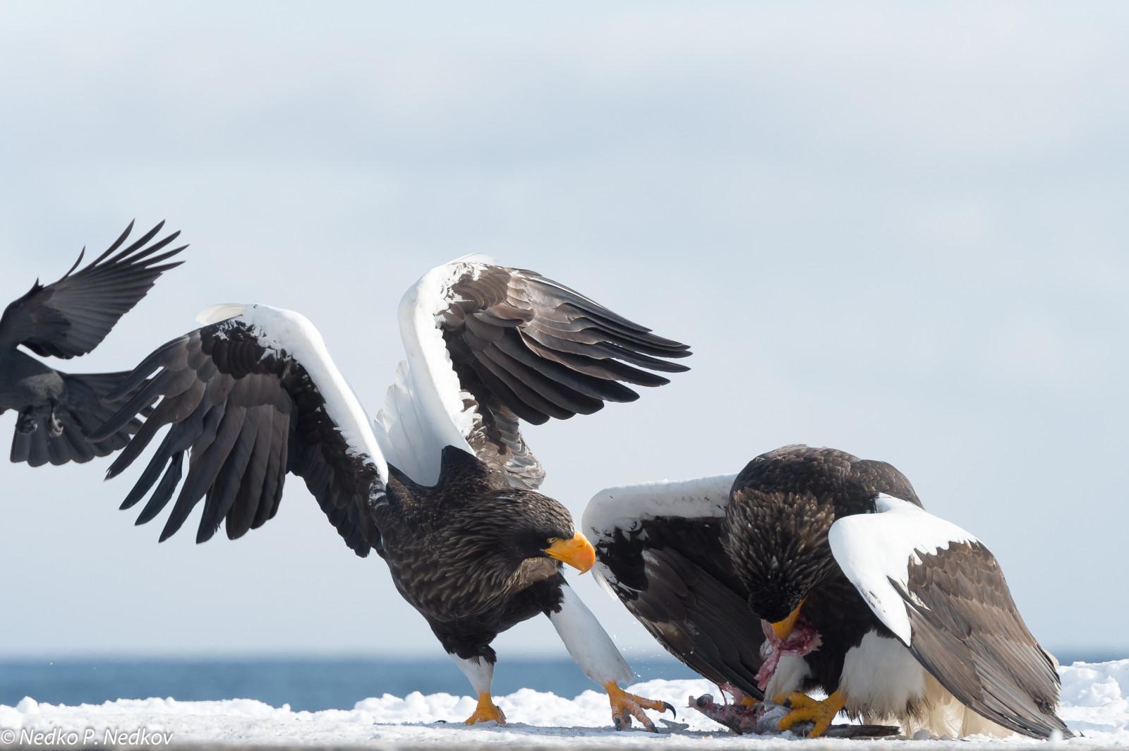 Aguila En La Espalda fondos de pantalla : pájaro, pico, ave de rapiña, águila